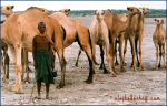 Camel shepherd, Somalia.